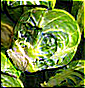 brussels_sprout